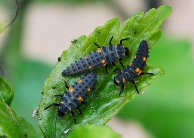 larve-di-coccinella